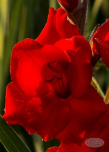 Gladiole-rot-bluehte