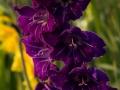 Gladiole-lila-blueten