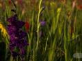 Gladiole-lila