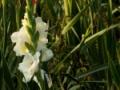 Gladiole-weiss