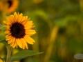 Sonnenblume4
