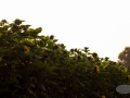 Sonnenblumenfeld2