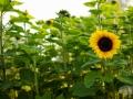 Sonnenblume5