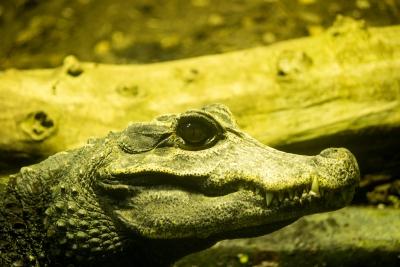 Krokodil2a