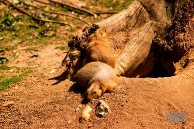 Praeriehund