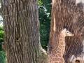 Giraffe-Baby-versteckt