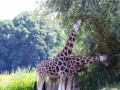 Giraffe-fressend
